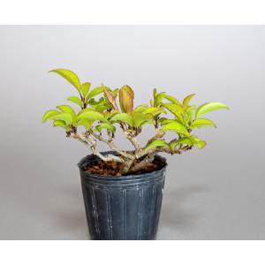 雄木(交配用)ウメモドキ(うめもどき・梅擬盆栽雄木)u0005|e-bonsai