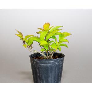 雄木(交配用)ウメモドキ(うめもどき・梅擬盆栽雄木)u0007|e-bonsai