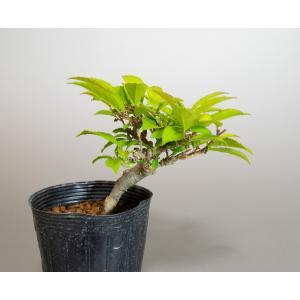 雄木(交配用)ウメモドキ(うめもどき・梅擬盆栽雄木)u0009|e-bonsai