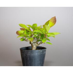 雄木(交配用)ウメモドキ(うめもどき・梅擬盆栽雄木)u0010|e-bonsai