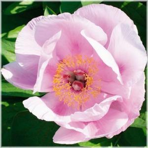 「シャクヤク シンキング イン ザ レイン」は、咲きはじめはクリーミーイエローで、次第にピーチーサ...