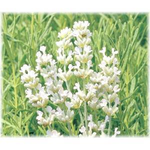 「ラベンダー イングリッシュアルバ」は、清楚な純白花を咲かせるイングリッシュ系ラベンダー。花穂も開...