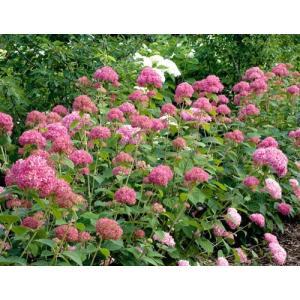「アメリカアジサイ ピンクアナベル」は、薄緑からピンクに変わる一重、球形、テマリ咲き。新梢開花性の...