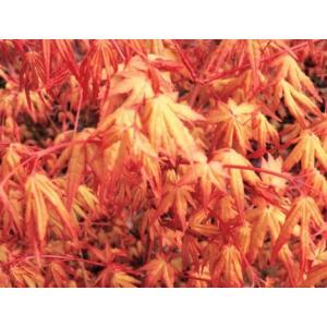「モミジ 茜空」は、イロハ系の小葉種。鮮やかなオレンジの芽吹きから、夏にライムグリーンに変化。この...