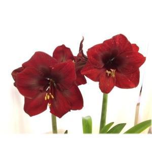 大特価! アマリリス グランディーバ 球根 1球|e-flower|02