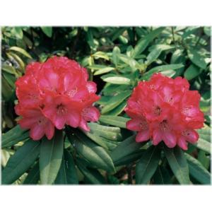 「シャクナゲ ルージュマジック」は、ピンクを帯びた明るい赤。やや底白になる丸弁。中輪。 直立性で伸...