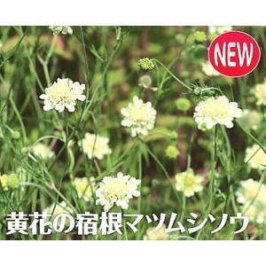 「スカビオサ オクロレウカ」は、ヨーロッパから西アジア原産のライトイエローの花を咲かせる宿根マツム...