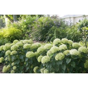 「アメリカアジサイ アナベルジャンボ(PVP)」は、「アナベル」の大輪改良品種。かすかに香る花はク...