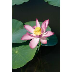 「ハス 越谷古代蓮」は、埼玉県越谷市の休耕田で発見された古代蓮。愛らしいピンクの一重。中輪花で、花...