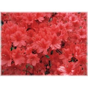 「ヤマツツジ 夕ギリ」は、ヤマツツジの二重咲き品種。花は鮮やかな濃赤色で、花つきが良く、成木になる...