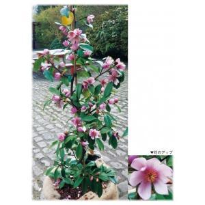 「マグノリア フェアリーマグノリア(R) ブラッシュ」は、樹高3〜4mとコンパクトで、直立樹形のマ...