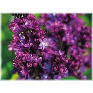 「ライラック バーチャルバイオレット」は、黒紫色の八重咲き。直立性の矮性種で、ポットや狭いスペース...