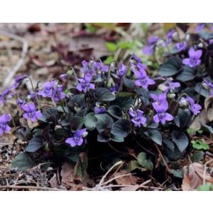 「ビオラ ラブラドリカ」は、北米原産。  タチツボスミレに似た有茎種で、葉は紫色をおび、春先に濃紫...