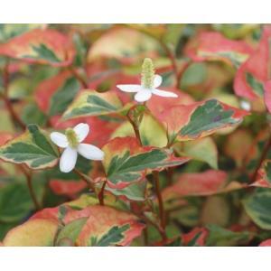 「五色ドクダミ」は、濃黄・赤・黄緑斑が入る整形葉の斑入り品種。江戸時代から栽培されていた逸品です。...