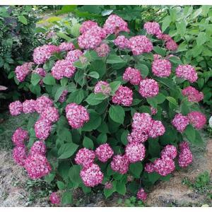 「アメリカアジサイ ルビーのアナベル(PVP)」は、コンパクトな樹形の赤花アメリカアジサイ。蕾は濃...