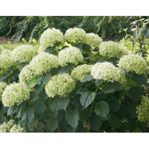 「アメリカアジサイ ライムのアナベル(PVP)」は、ライムグリーンの大きな花を咲かせる大形品種。茎...