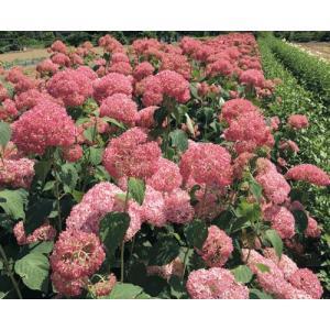 「アメリカアジサイ ピンクアナベル」は、ピンクのテマリ咲き品種。切り戻しによって秋に返り咲きが楽し...
