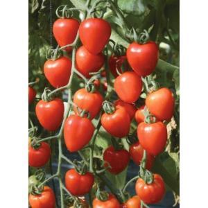 ミニトマト トマトベリーガーデン 自根ポット苗 3株(入荷予定:2020年4月頃)