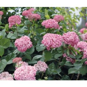 「アメリカアジサイ ピンクのアナベルII」は、雨や風を受けても花茎が倒れにくい改良品種。ピンクの花...