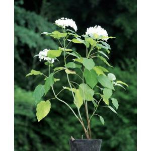 北アメリカ原産のアジサイ。新芽に花が咲く性質なので 適宜選定ができ、大きく育てたくない場所にも便利で...
