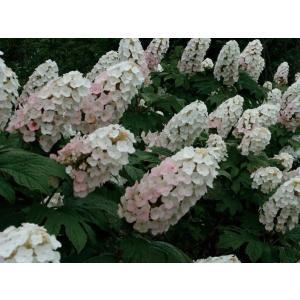 北アメリカ原産のアジサイ。大型穂状の花が豪華。 雨に当たると垂れさがるので、支柱をすると良いでしょう...