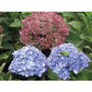 手毬状の花が初夏から晩秋まで次々と咲き、長い期間楽しむことが 出来ます。