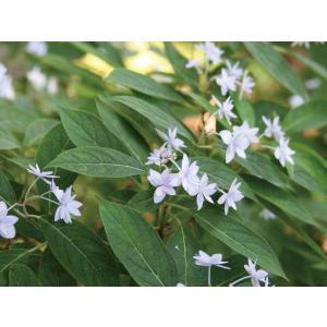 ヤマアジサイの品種。八重咲きの花が清楚で、 上品な姿です。