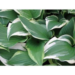 大きな葉が魅力のギボウシ(擬宝珠)。パトリオットは白色の大きな斑が鮮やかな 品種です。大型で上部に育...