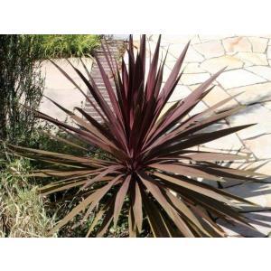 赤紫の細長い葉が特徴的で、緑の多い庭のアクセントになります。