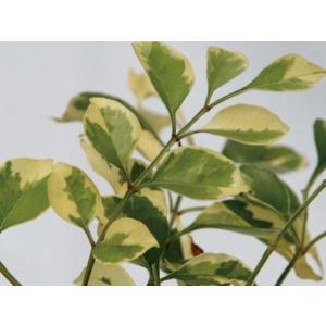 シマトネリコの中でも斑入りの品種は珍しく、涼しげな姿で 洋風ガーデンにも似合います。
