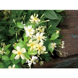 緑のカーテン ツル性植物「テイカカズラ(定家葛)(大株)」  です。茎や葉が他の植物や構築物に絡みつ...
