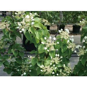 緑のカーテン ツル性植物「イワガラミ・ムーンライト(大株)」  です。茎や葉が他の植物や構築物に絡み...