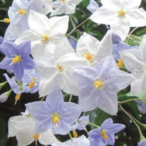 緑のカーテン ツル性植物「ツルハナナス(大株)」  です。茎や葉が他の植物や構築物に絡みついたり、吸...