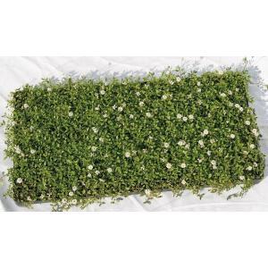 小さな葉が可憐ですが、踏みつけにもかなり強い品種です。害虫にも強く 生育旺盛で、雑草の抑制にもなりま...