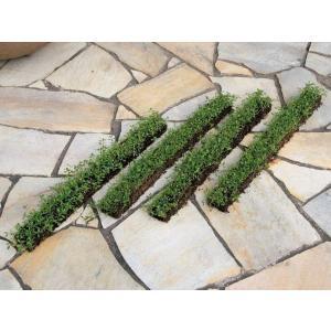 駐車場のコンクリート目地や花壇の縁取りに便利。踏みつけや害虫に強く 生育旺盛で雑草の抑制にもなります...