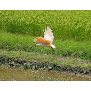 米 5kg 新潟産コシヒカリ お米 新潟 佐渡 朱鷺と暮らす郷米 30年産|e-koshihikari|03