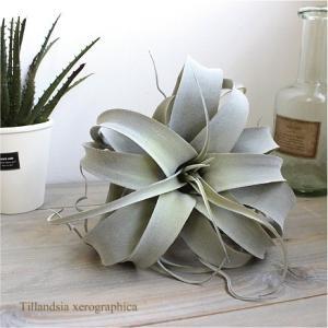 エアプランツ キセログラフィカ Φ25cm  造花 インテリア フェイクグリーン|e-mintcafe