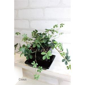 観葉植物 シサスアイビー(シュガーバイン)プラント 黒四角鉢皿つき  人工観葉植物 造花 インテリア CT触媒 フェイクグリーン ギフト|e-mintcafe
