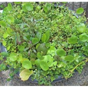 (水草)  ビオトープ用水草 30本セット