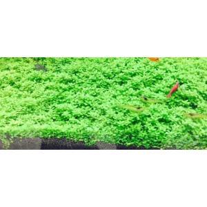キューバパールグラス (5×5cm) 栄養素付 無農薬 前景草 品質抜群の有名ファーム産