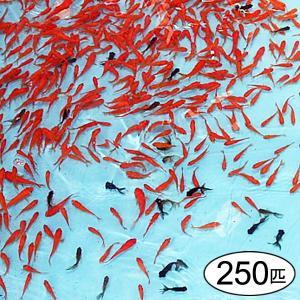 【商品番号】No.223  奈良県大和郡山より直送!金魚すくい用の元気な金魚(約250匹)  【セッ...
