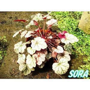 ツボサンゴ ヒューケラ シュガーフロスティング 13.5cmポット 3本|e-sora