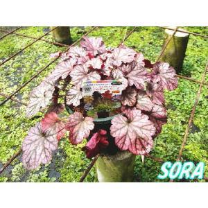 ツボサンゴ ヒューケラ ブラックベリージャム 13.5cmポット 1本|e-sora