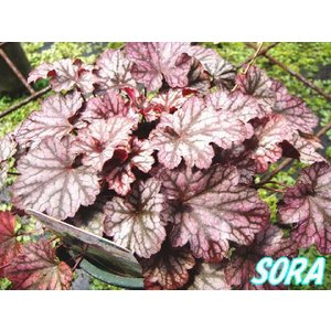 ツボサンゴ ヒューケラ ブラックベリージャム 13.5cmポット 5本|e-sora