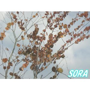 カツラ 株立 樹高 H:1800mm e-sora