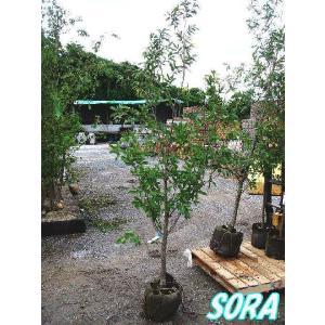 クヌギ 単木 樹高H:1800mm e-sora