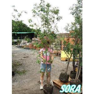 コナラ 株立 樹高H:1800mm e-sora