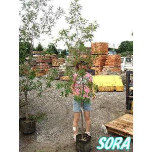 コナラ 単木 樹高H:1800mm e-sora