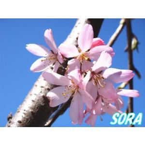 シダレザクラ 一重 樹高H:1800mm|e-sora