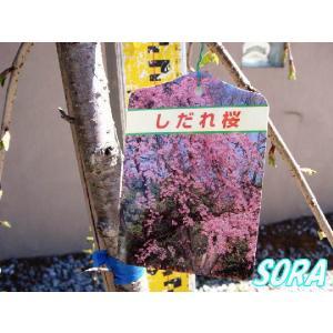 シダレザクラ 八重 樹高H:1800mm|e-sora